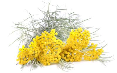Helicryse, één van de belangrijkste oliën voor de huid!